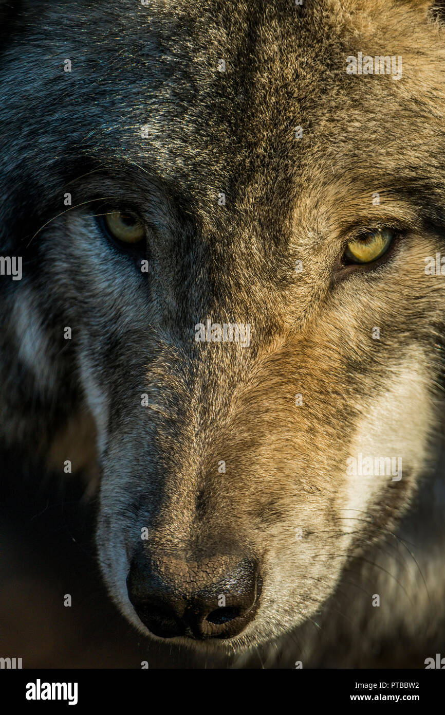Closeup portrait of a Gray or Timber Wolf. The Wolf is looking slightly off to the left. - Stock Image