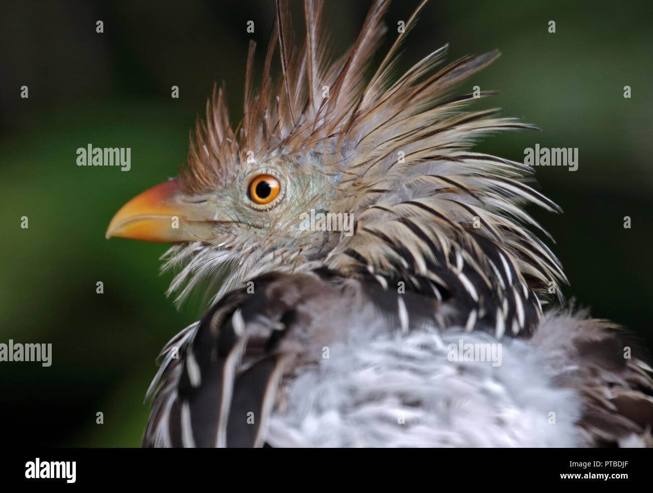 Guira Cuckoo (guira guira) Stock Photo
