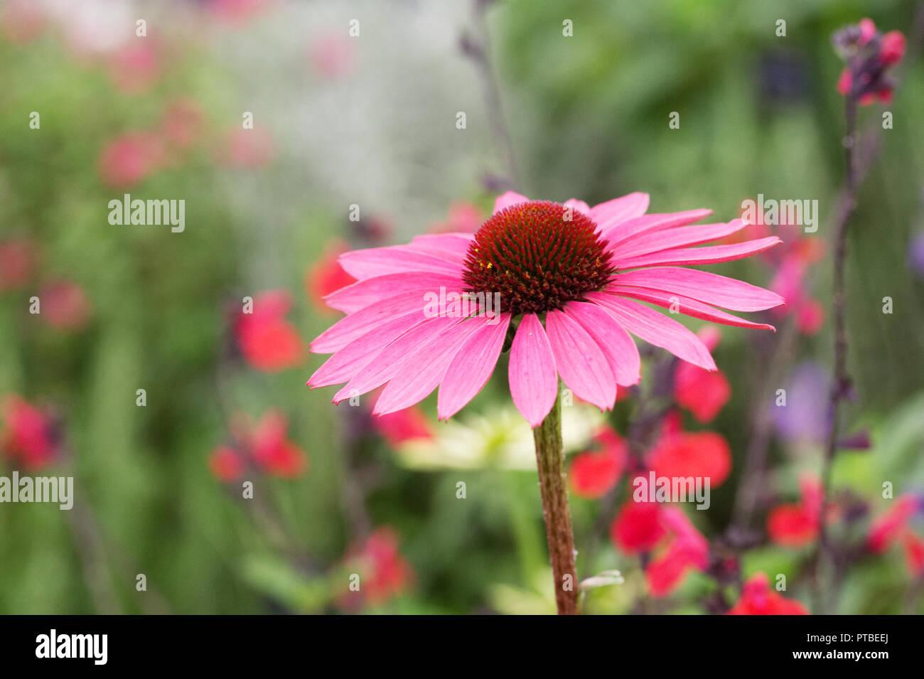 Echinacea purpurea and Salvia flowers. Stock Photo