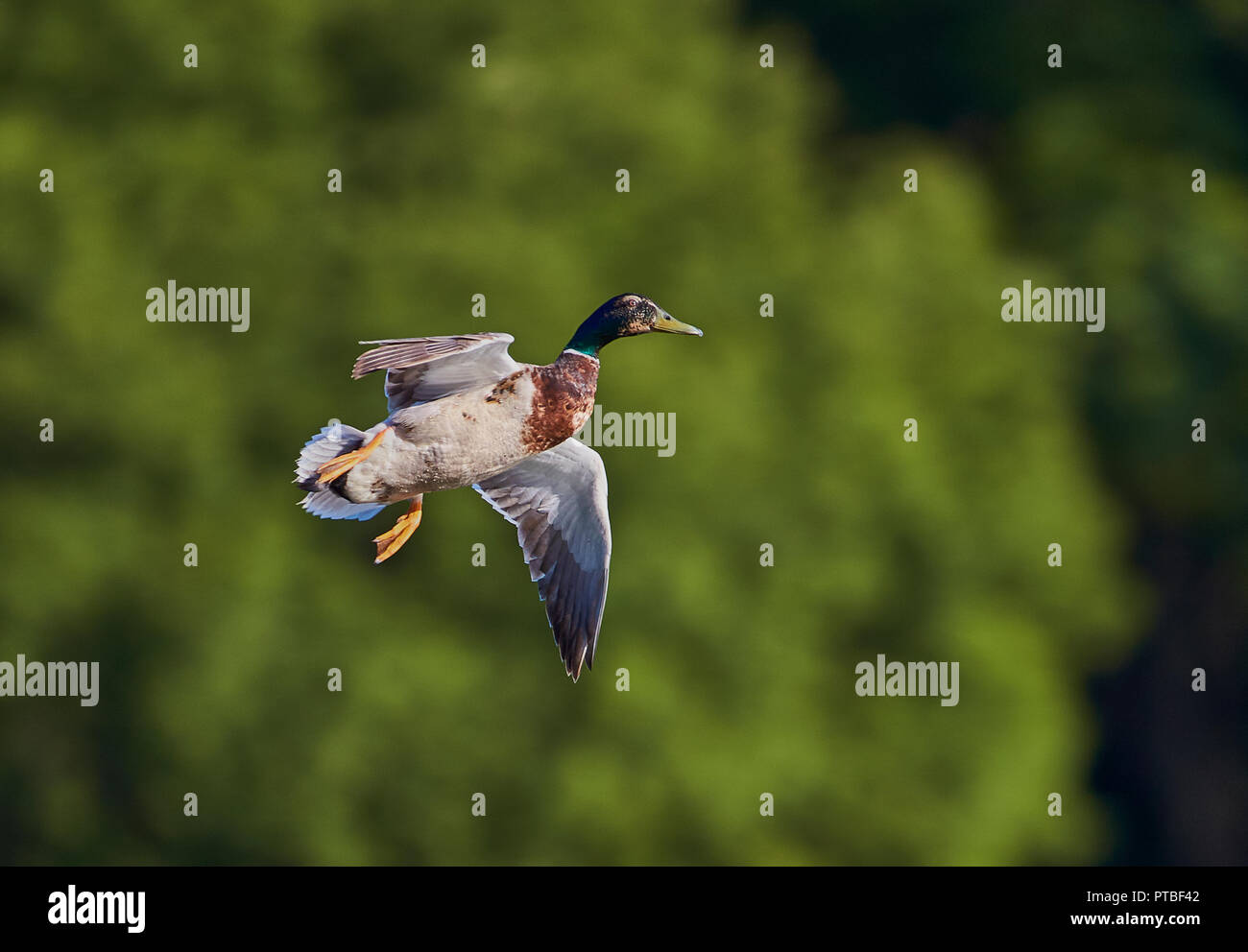 A single male Mallard Duck (Anas Playtrhynchos) flying with wings spread open preparing to land with green trees in the background - Stock Image