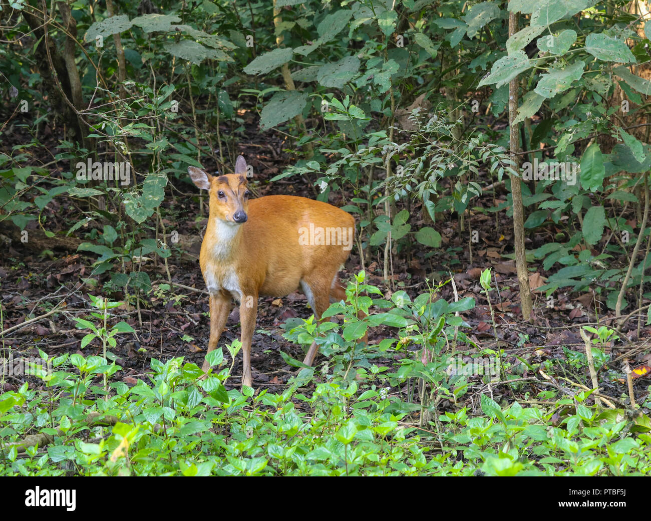 Barking Deer - at Corbett National Park (India) - Stock Image