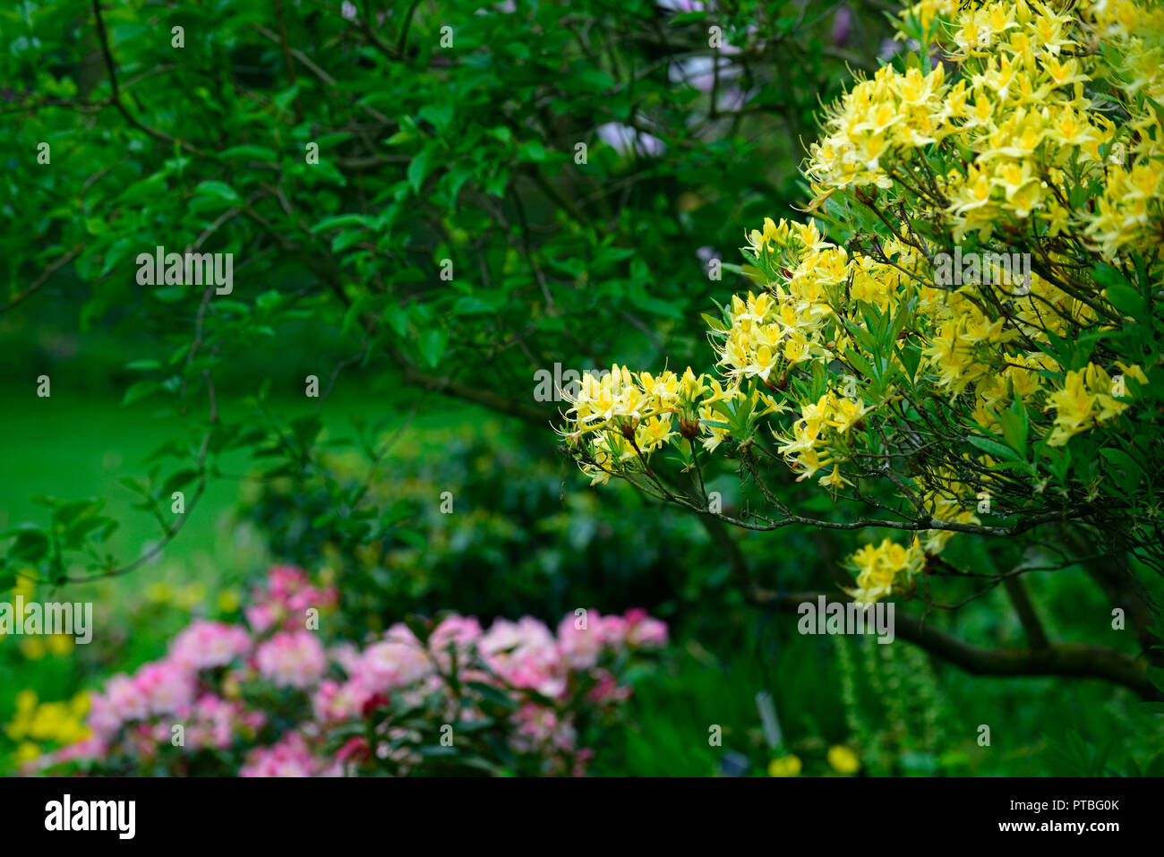 Rhododendron luteum,yellow azalea,honeysuckle azalea,wood,woodland,tree,shrub,shrubs,RM Floral Stock Photo