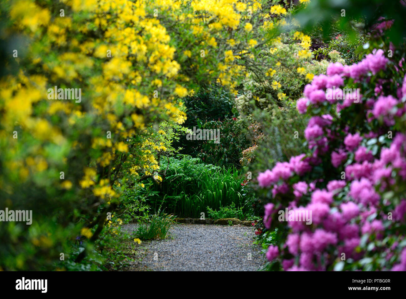 polygonatum biflorum,solomons seal,white,flowers,flowering, shade,shady,shaded,garden,rhododendron luteum,RM Floral - Stock Image