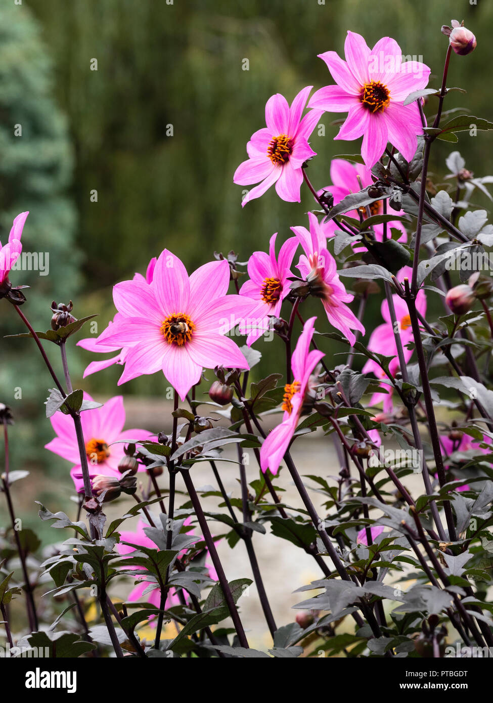 Yellow centred, rich magenta flowers of the dark leaved half hardy summer bedding plant, Dahlia 'Magenta Star' - Stock Image