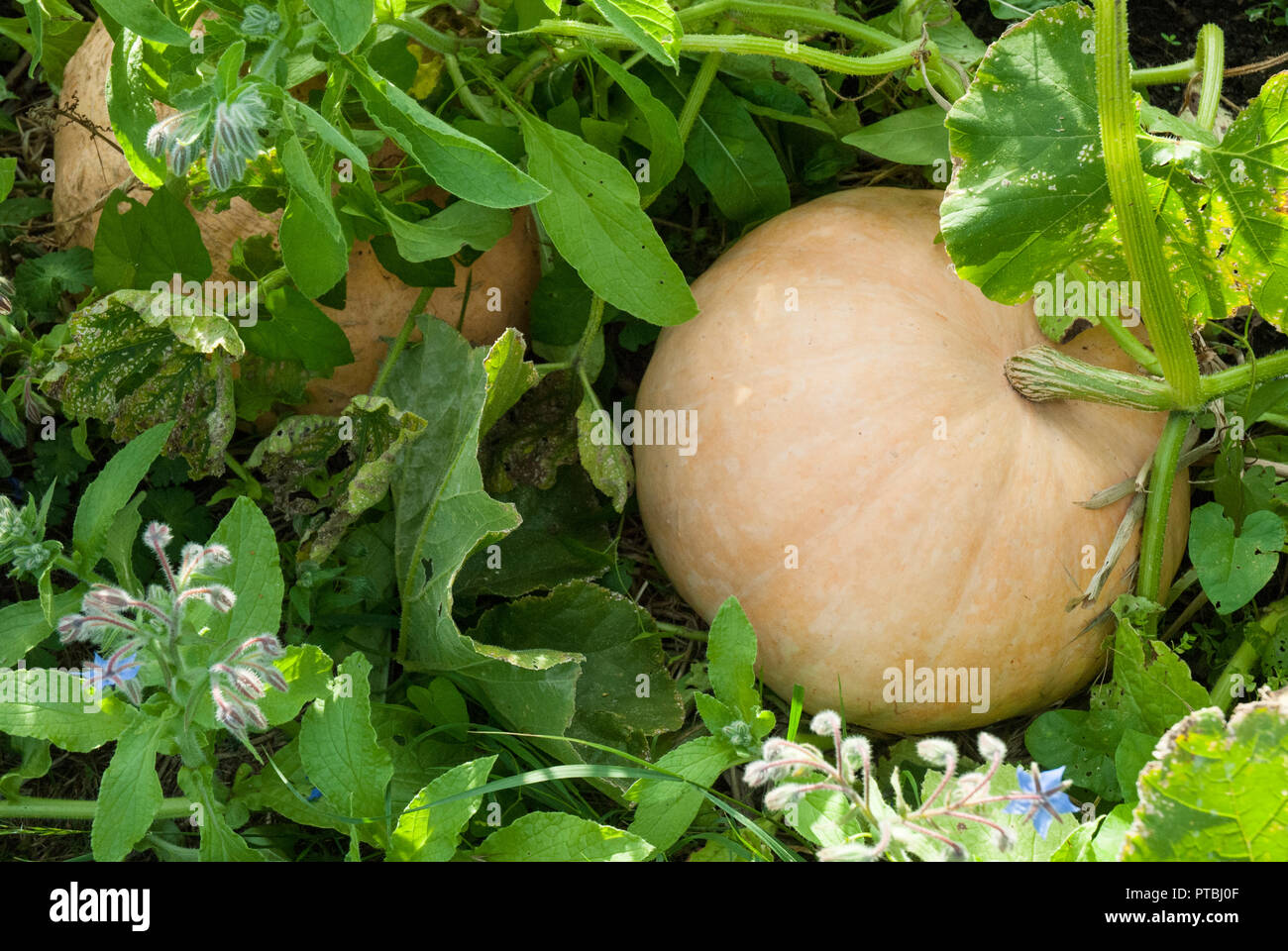 Golden pumpkins growing naturally amongst foliage. - Stock Image