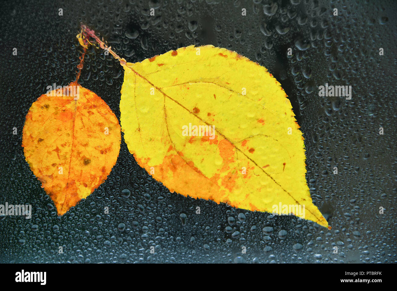 Autumn yellow leaves on wet glass in drops of water. Close-up Stock Photo