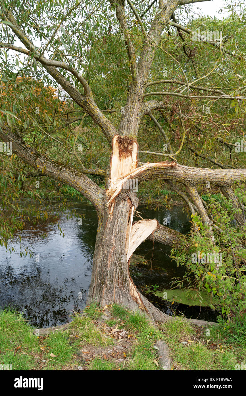 Branch splitting from tree trunk - Stock Image