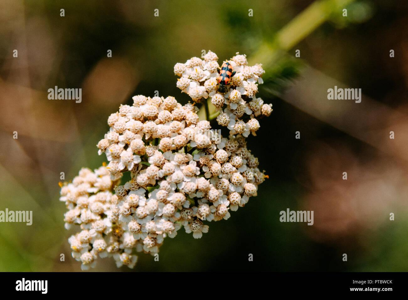 Macroo bee. Etna, Sicily 2018 - Stock Image