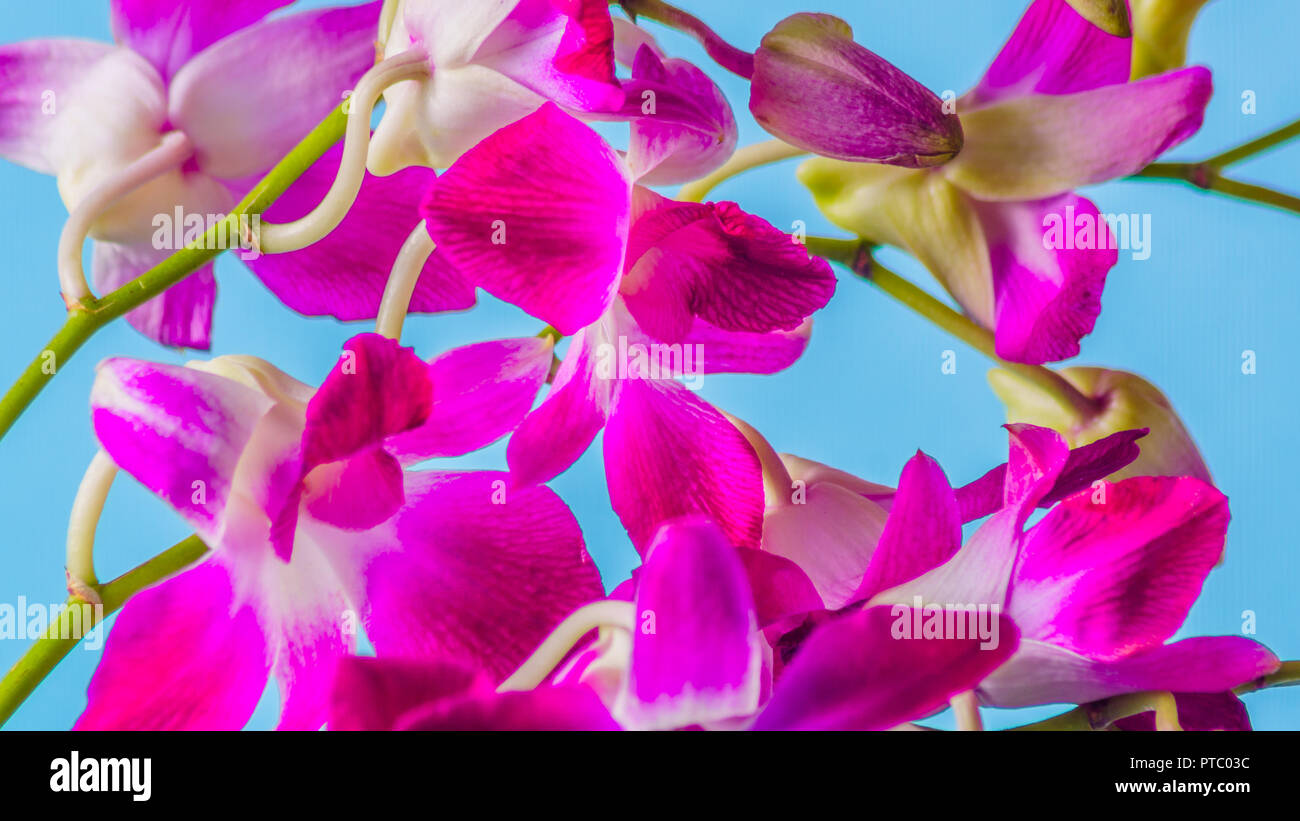 Beautiful Branch Of Purple Orchid Flower On Blue Background Studio