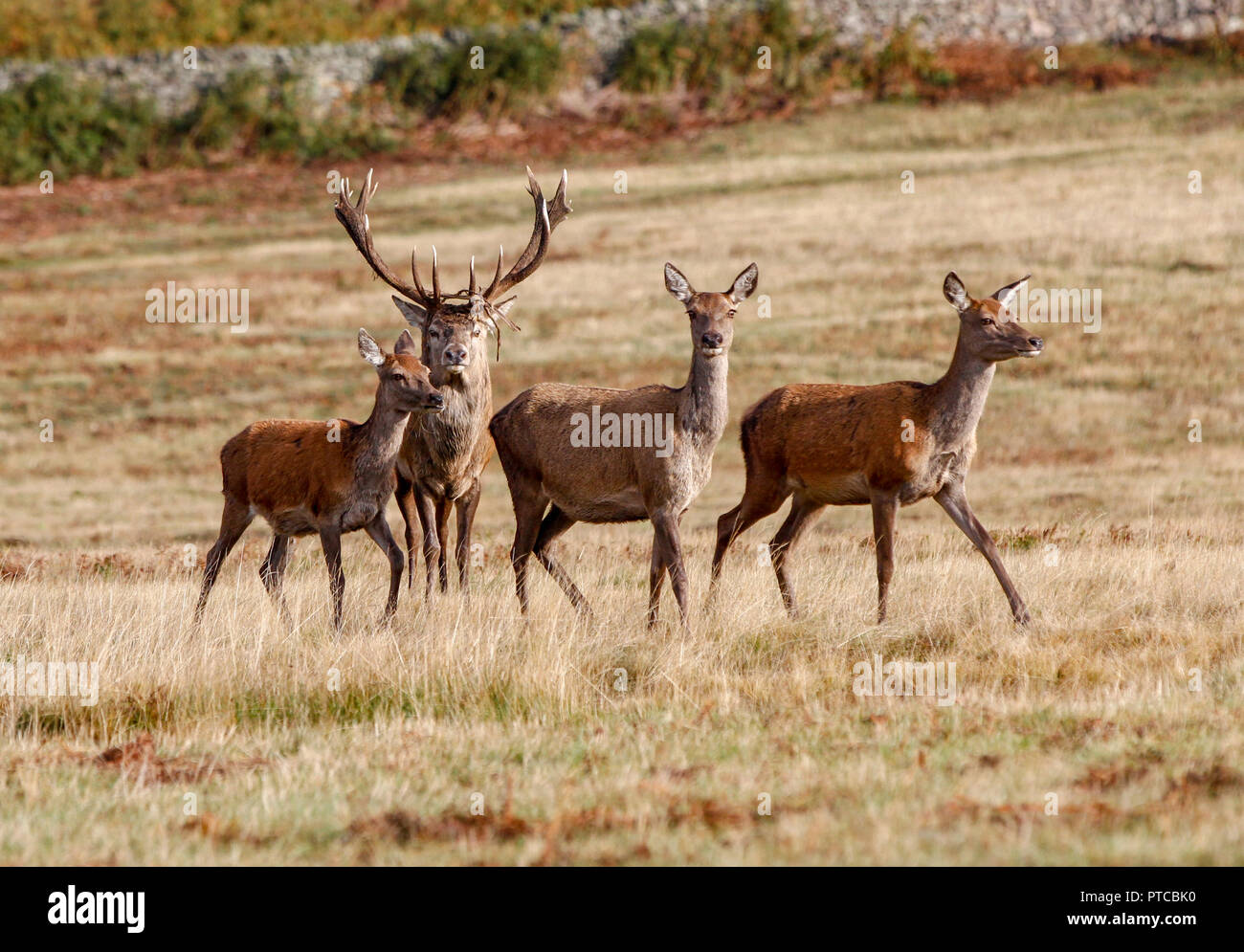 Red Deer (Cervus elaphus) - Stock Image