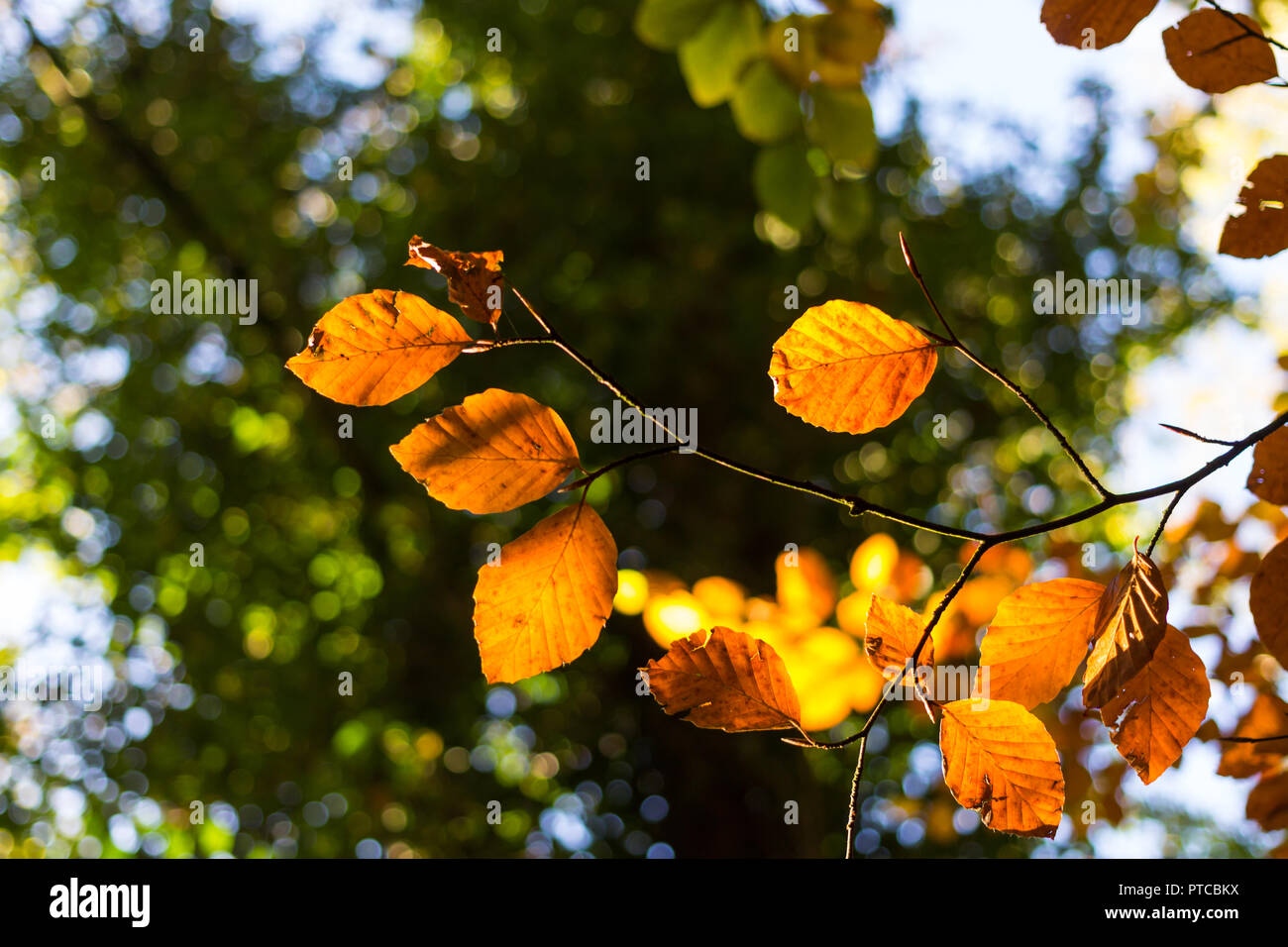 Copper brown red leaves against a green background. - Stock Image