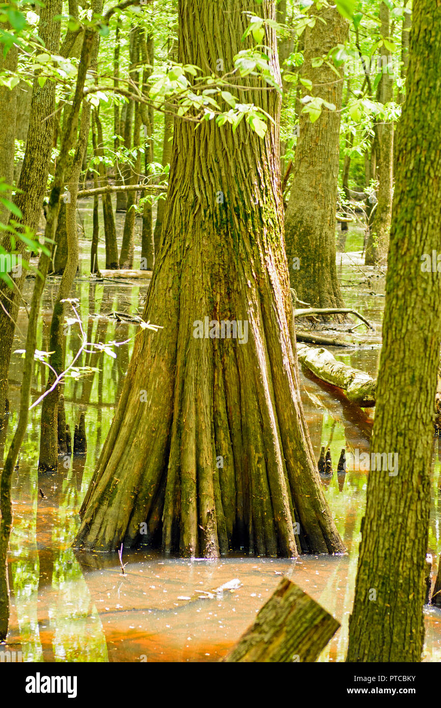 Trunk of a Cypress in the Cache River in Southern Illinois - Stock Image