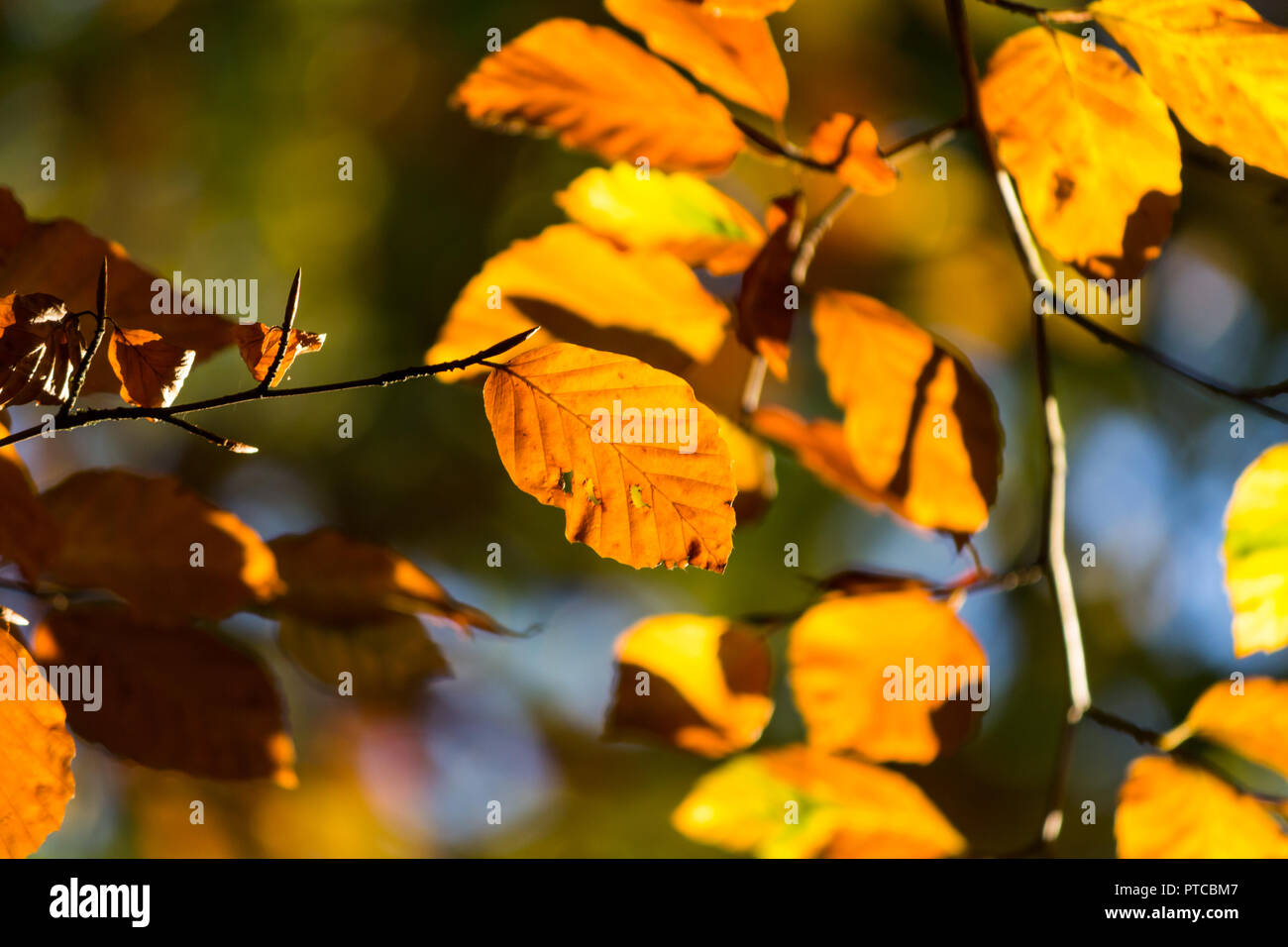 Copper brown red leaves on branches - Stock Image