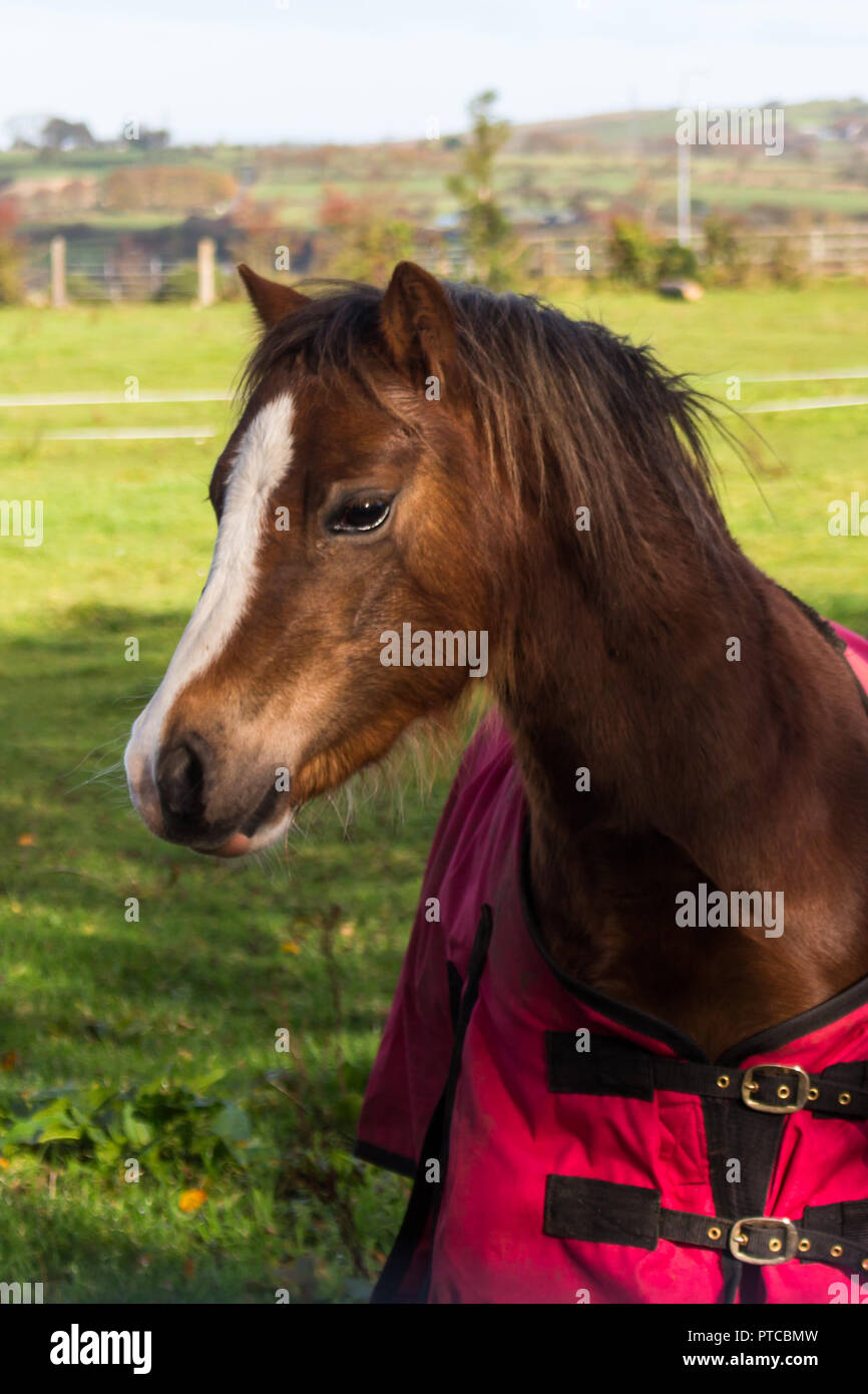 Portrait of a beautiful brown horse with white marking on head and nose wearing a red overcoat. - Stock Image