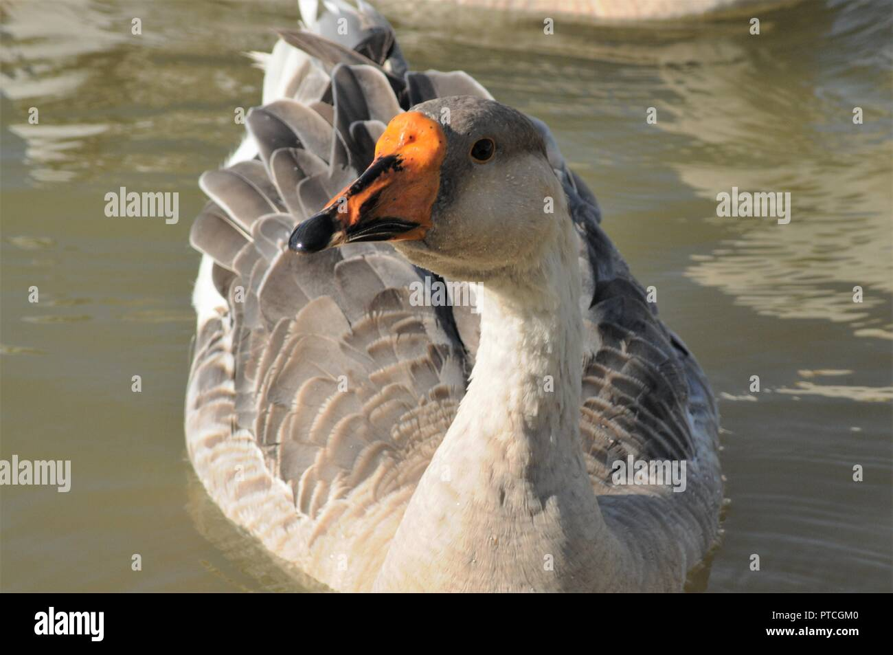 Chinese goose portrait - Stock Image
