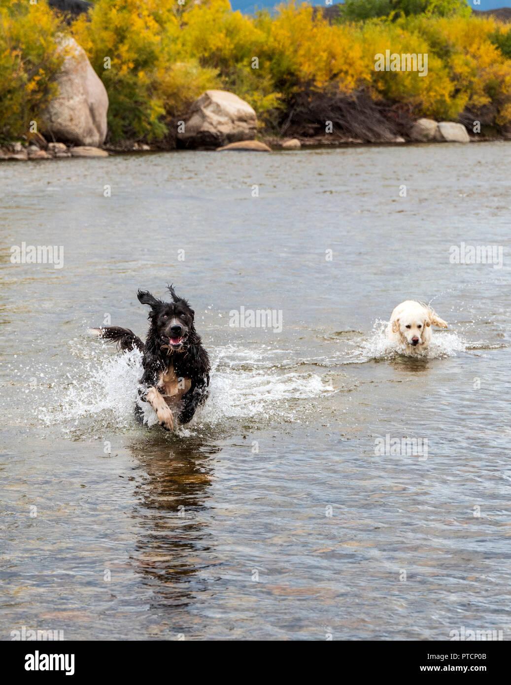 Platinum colored Golden Retriever & Newfoundland dogs playing in the Arkansas River, Salida, Colorado, USA - Stock Image