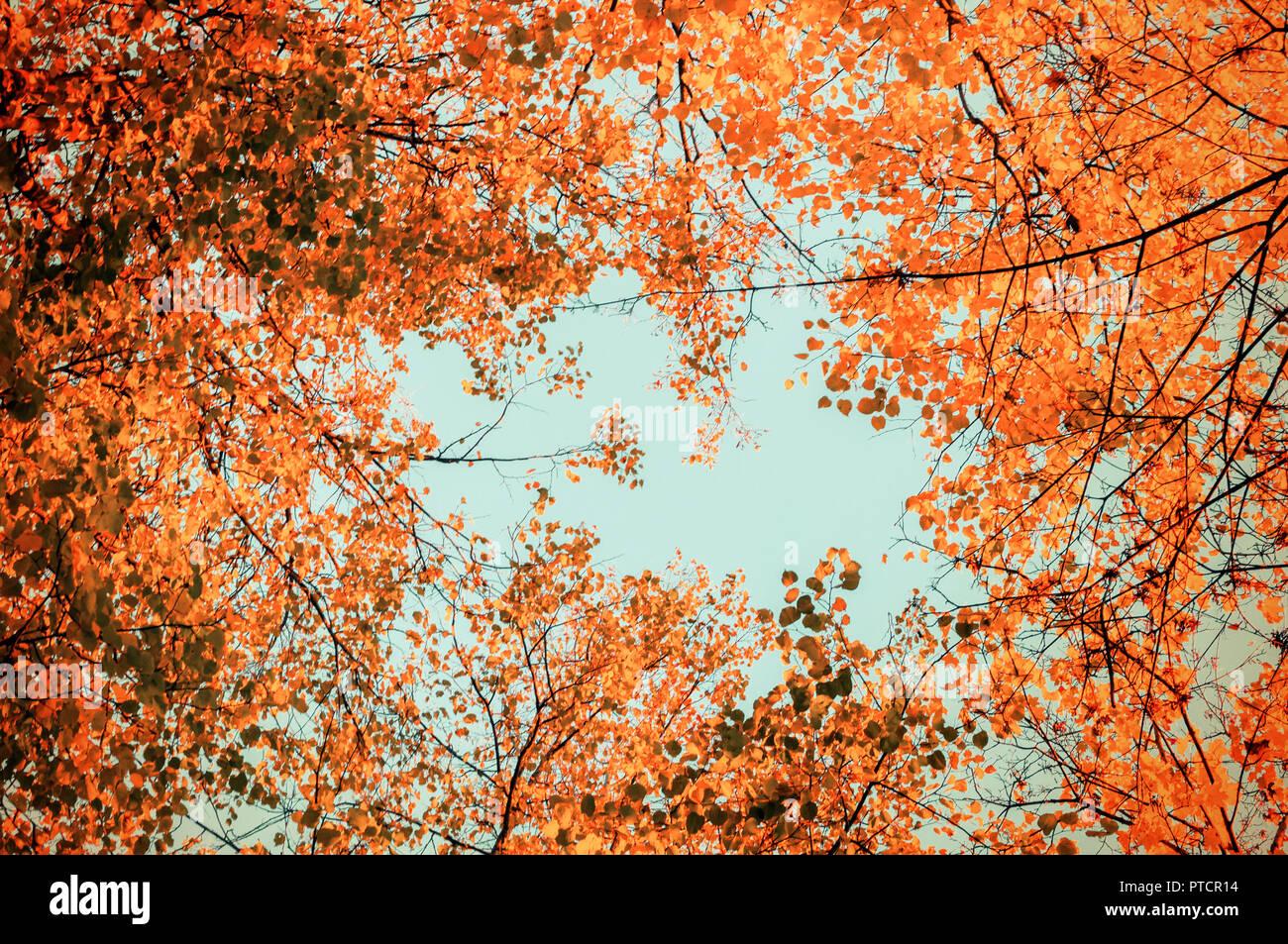 Autumn tree tops- orange autumn trees tops against blue sky. Autumn trees branches against blue sky in sunny autumn weather Stock Photo