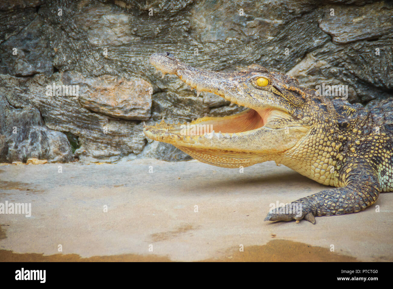 An angry crocodile is open jaws and ready to strike. A young crocodile is open mouth while resting at the farm. Commercial crocodile farming business  Stock Photo
