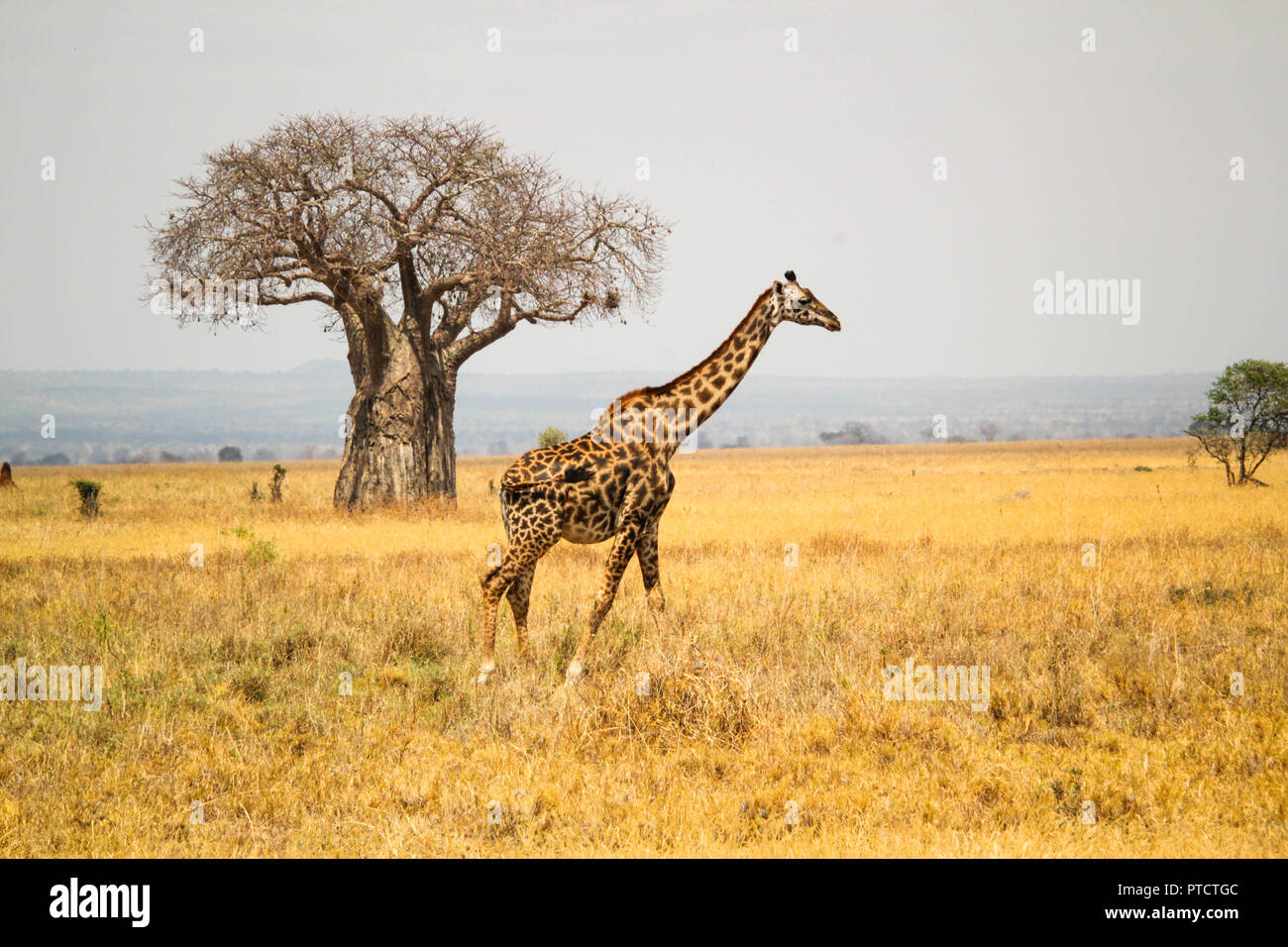Maasai giraffe with baobab tree in background in the landscape of Serengeti - Stock Image