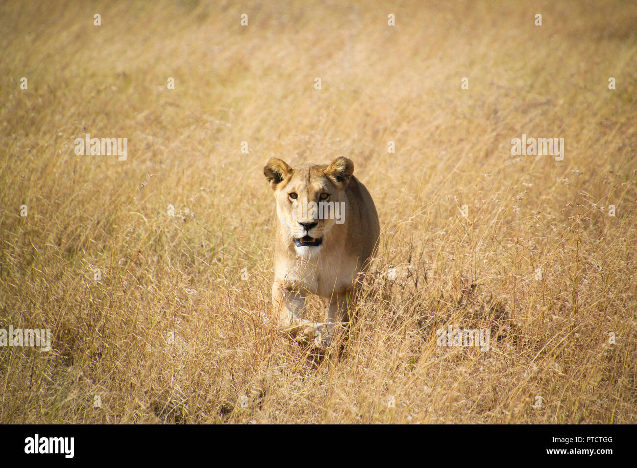 Lioness on the hunt in the endless plains of Serengeti. - Stock Image
