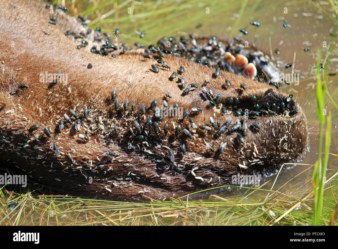 The snot and teeth of a dead ungulate with flies and maggots - Stock Image