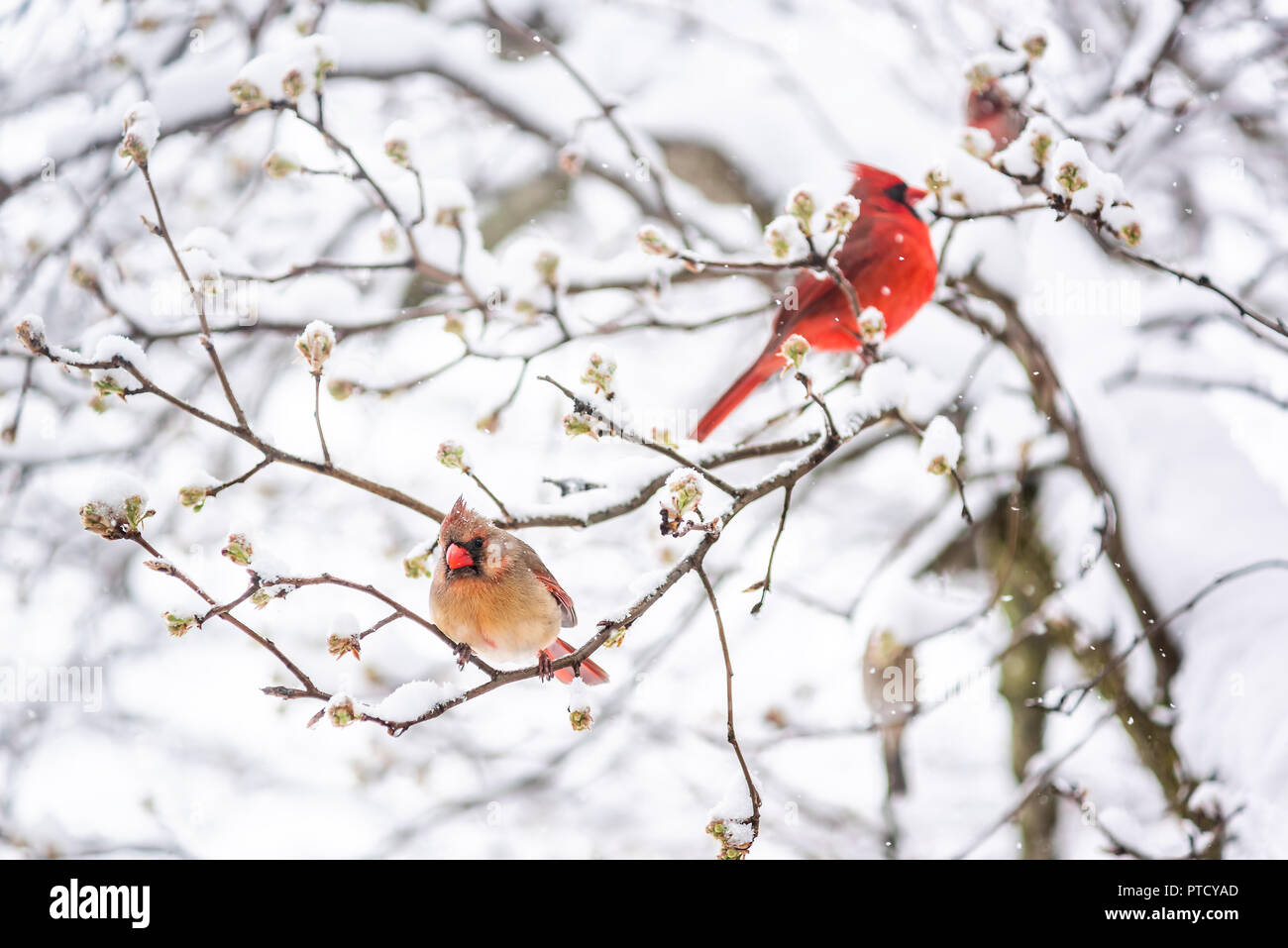Two red northern cardinal, Cardinalis, birds couple perched on tree branch during heavy winter snow colorful in Virginia, flakes falling - Stock Image