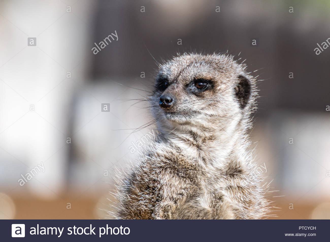 Meerkat Standing guard - Stock Image