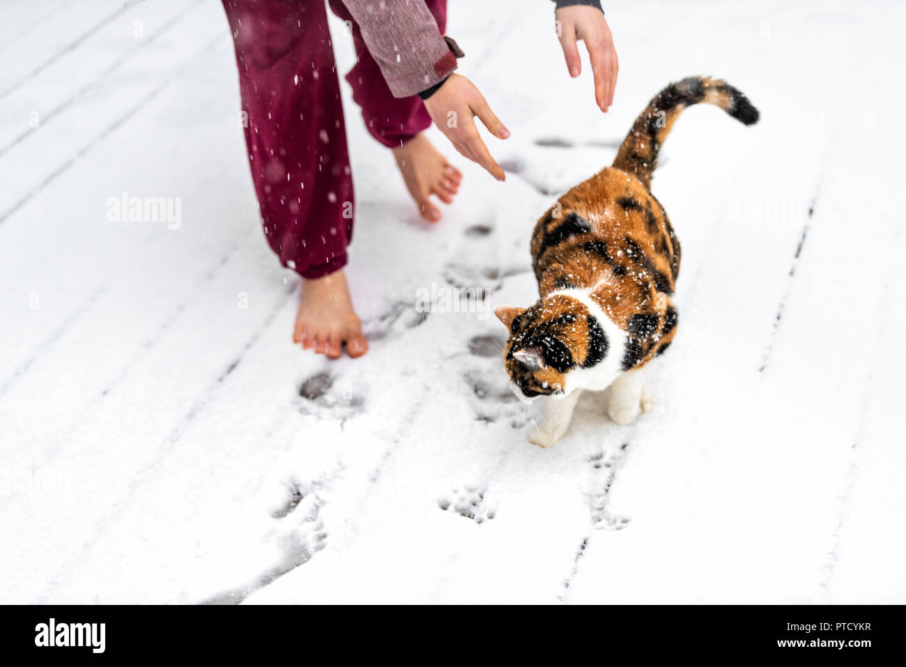Young woman letting calico cat go from arms, hands outside, outdoors on house deck, in park in snow, snowing weather during snowstorm, storm with snow - Stock Image