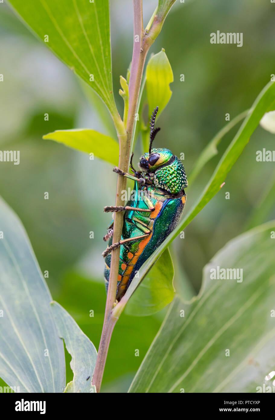Jewel beetle (Buprestidae) in plant, Isaan, Thailand - Stock Image