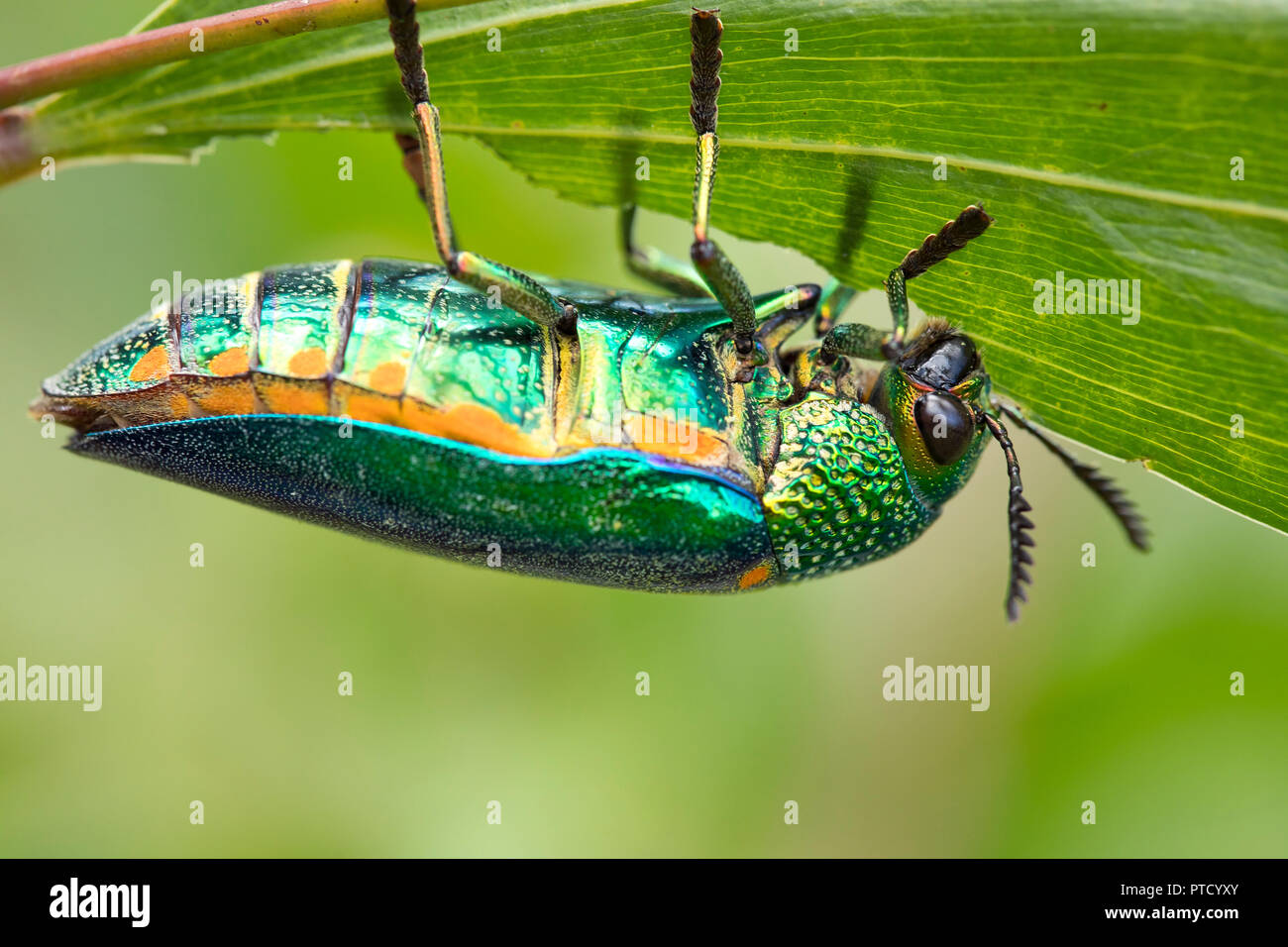 Jewel beetle (Buprestidae) feeds on a leave, Isaan, Thailand - Stock Image