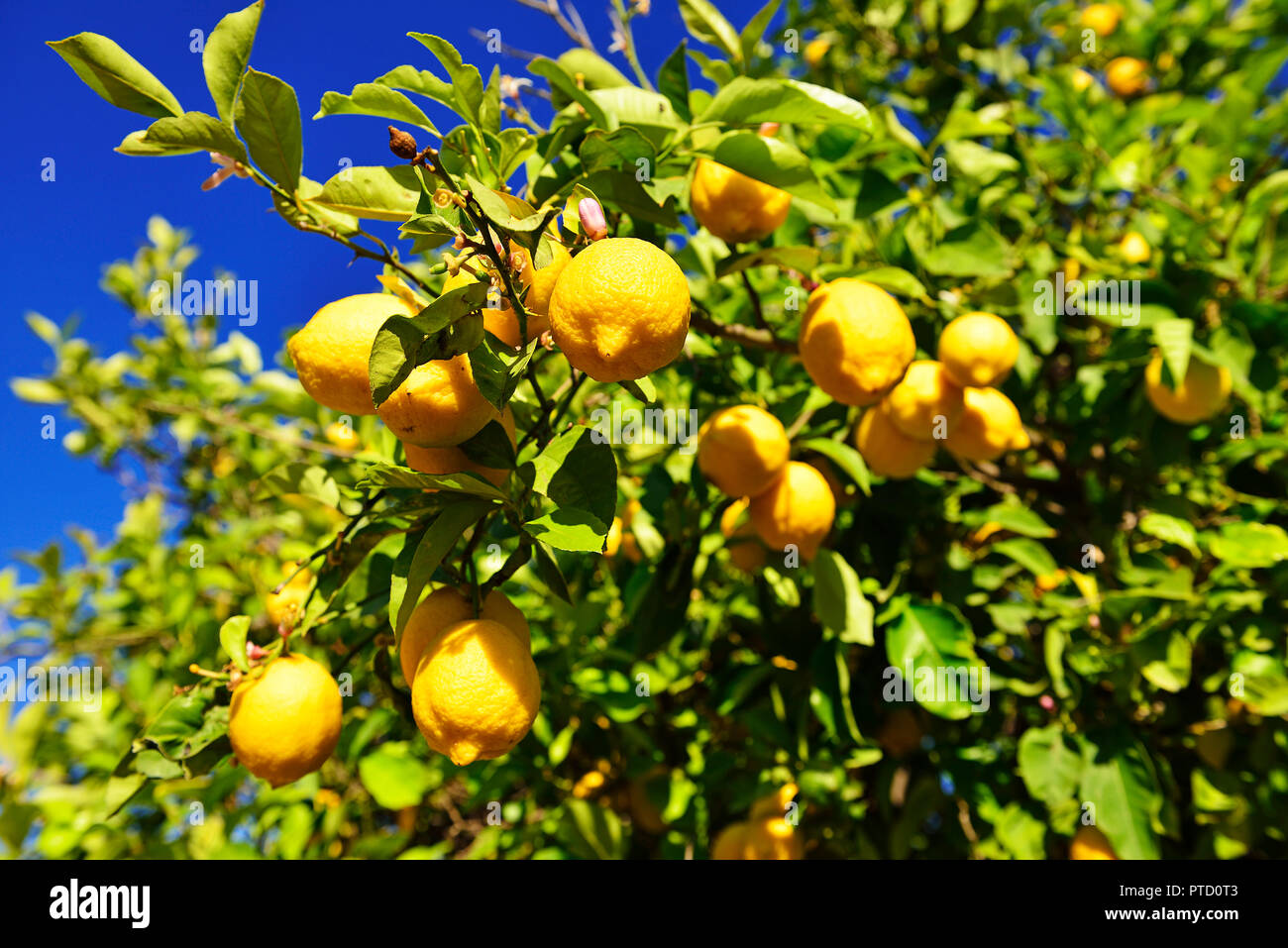 Lemon tree (Citrus × limon) with ripe lemons, near Mirtos, Crete, Greece - Stock Image