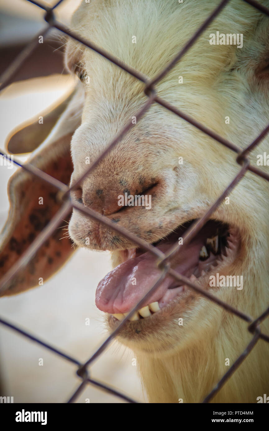 Male Boer Goat Stock Photos & Male Boer Goat Stock Images