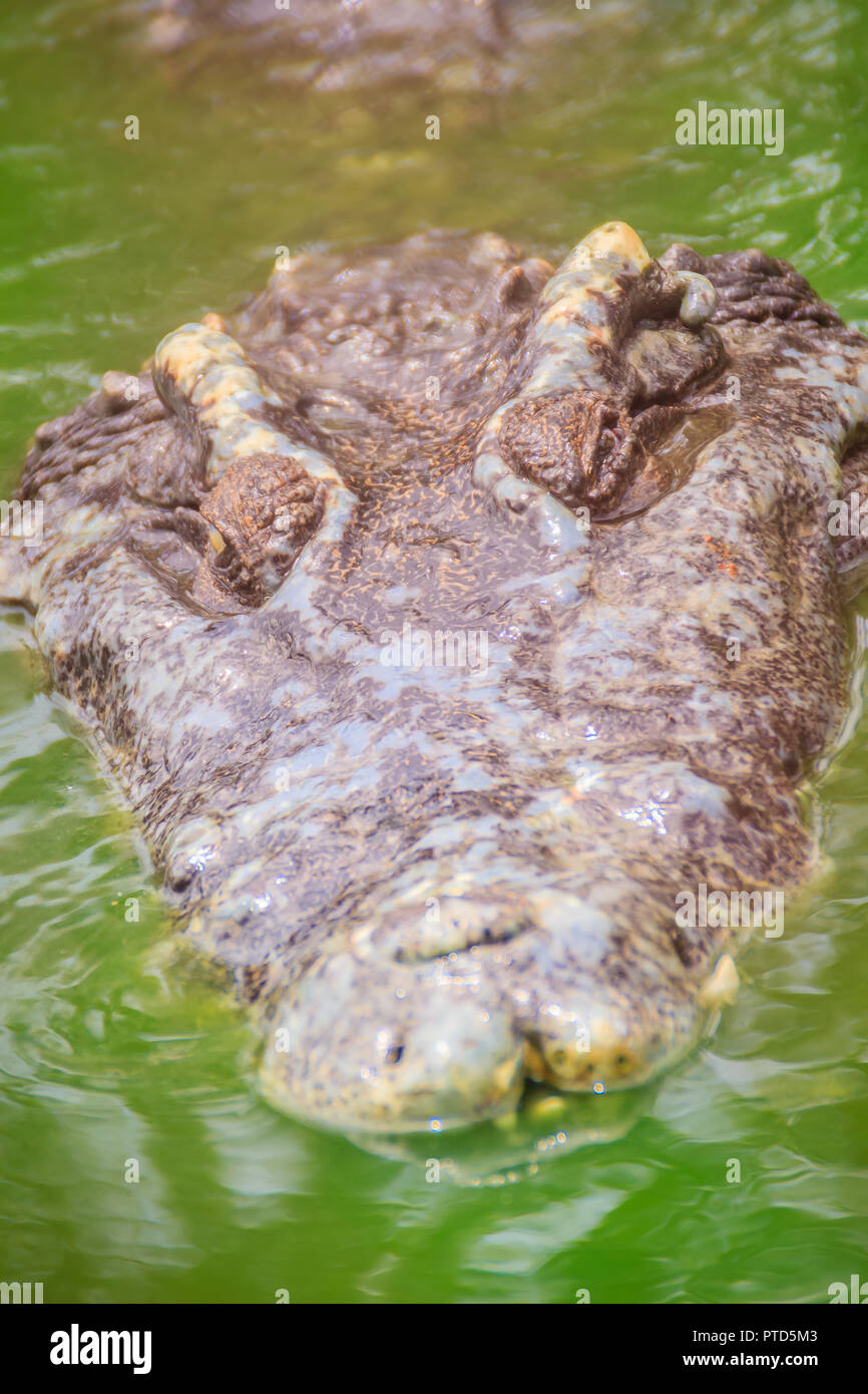 Dreadful crocodile is emerging from the water with a toothy grin to attack the prey. Big frightful crocodile's head emerges from the water and ready t - Stock Image