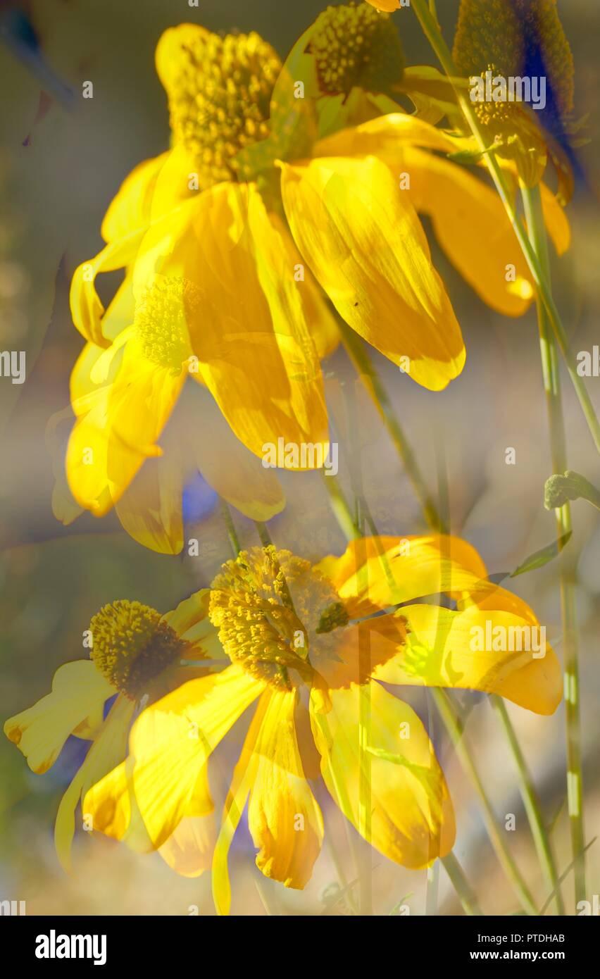 blühender Gelber Sonnenhut, Blumen - Stock Image