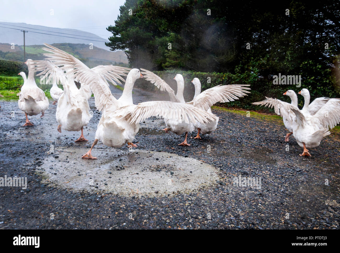 Ardara, County Donegal, Ireland weather. 9th October 2018. A day of strong wind and incessant rain on the north-west coast. Geese enjoy the rain on a farm. Credit: Richard Wayman/Alamy Live News - Stock Image