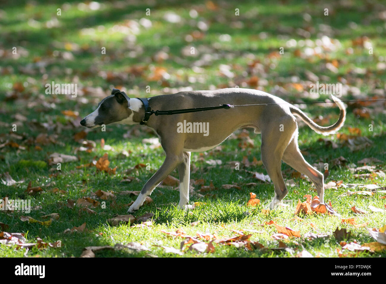 London UK. 9th Ocrober 2018. A dog on a lead enjoy the afternoon  sunshine in Saint James's Park covered in fallen leaves on a warm autumn day as October is forecast to be the hottest month in Seven years as the Indian summer returns Credit: amer ghazzal/Alamy Live News - Stock Image