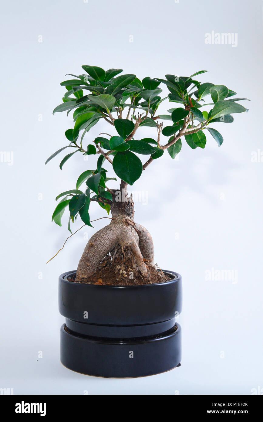 Bonsai Tree Ficus Fig Ginseng On A White Background Latin Name