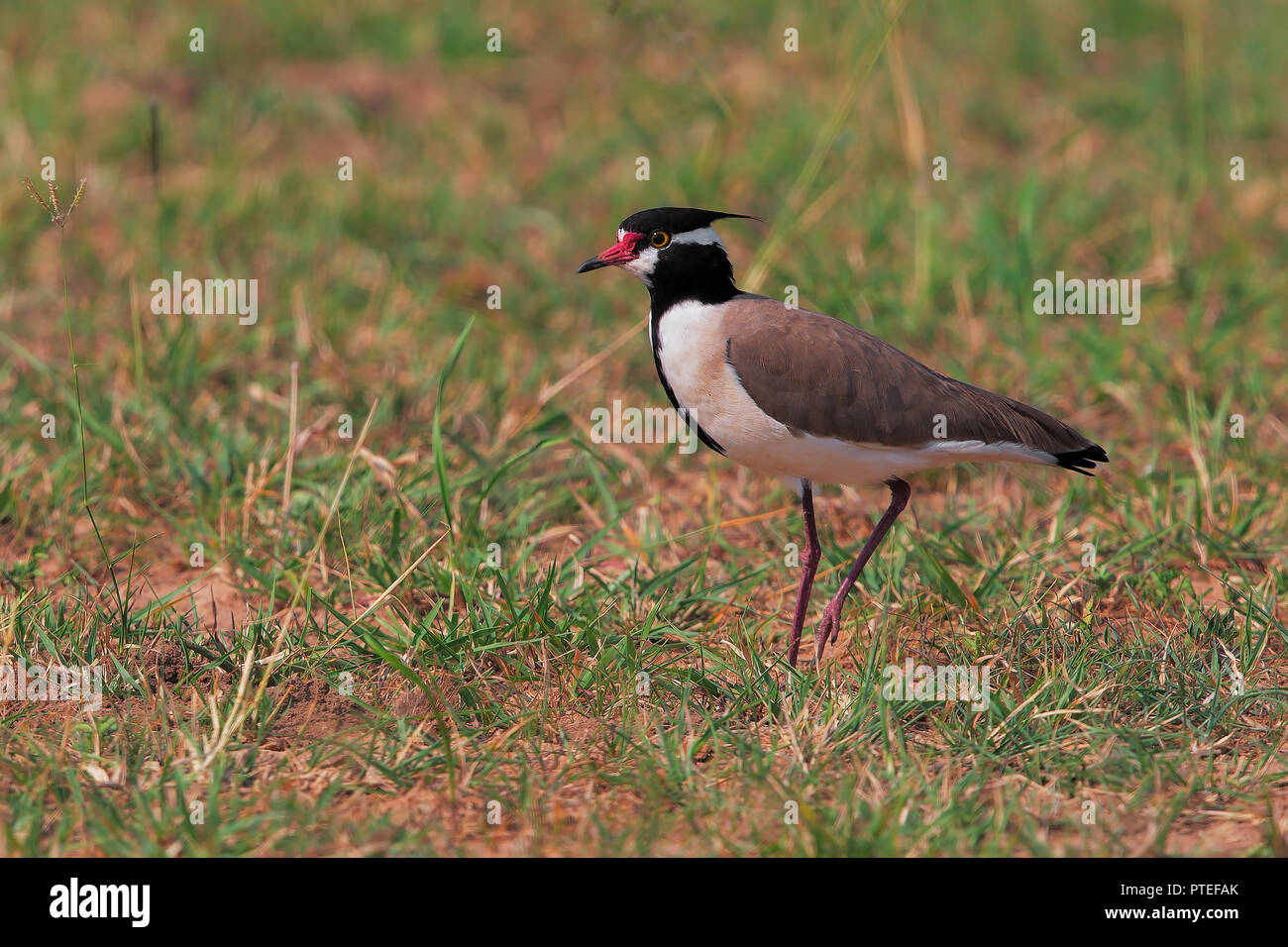 Black-headed Lapwing - Stock Image