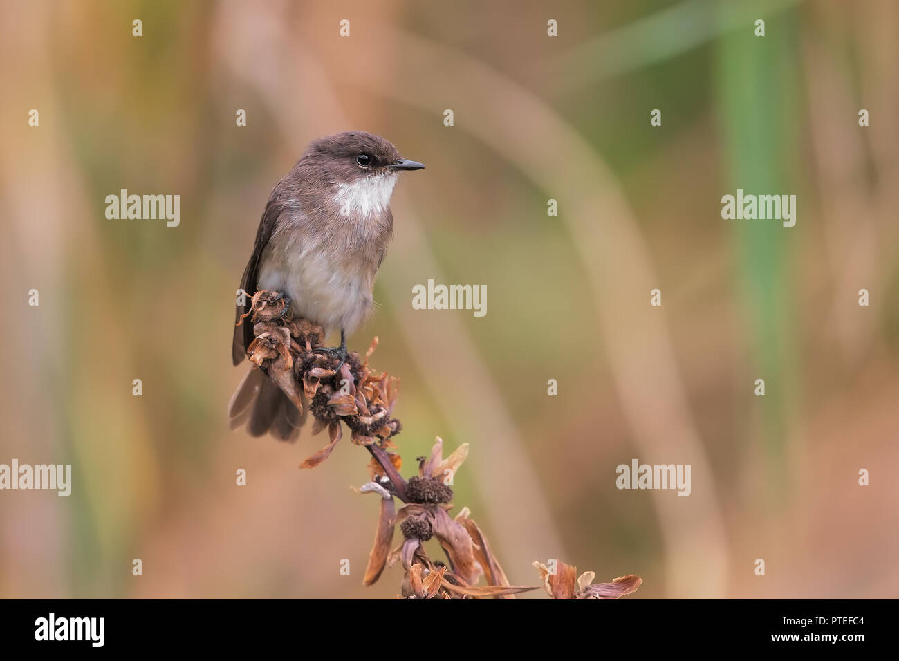 Brown-throated Martin - Stock Image