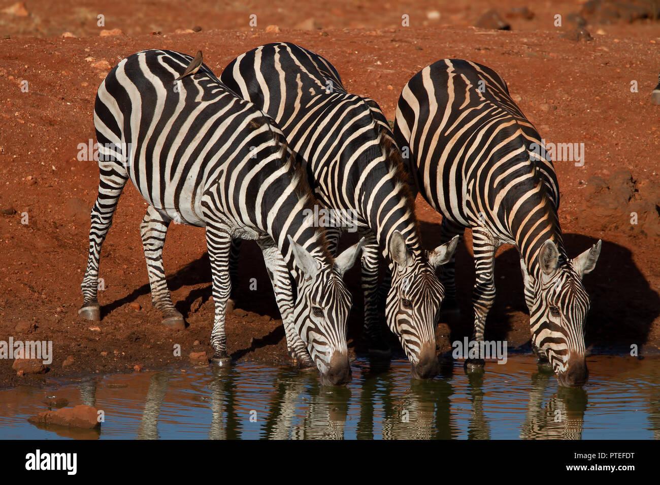 Zebras - Stock Image