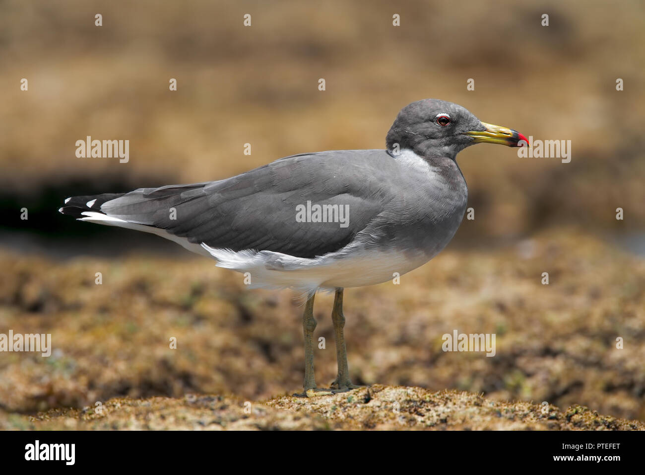 Hemprich's gull - Stock Image