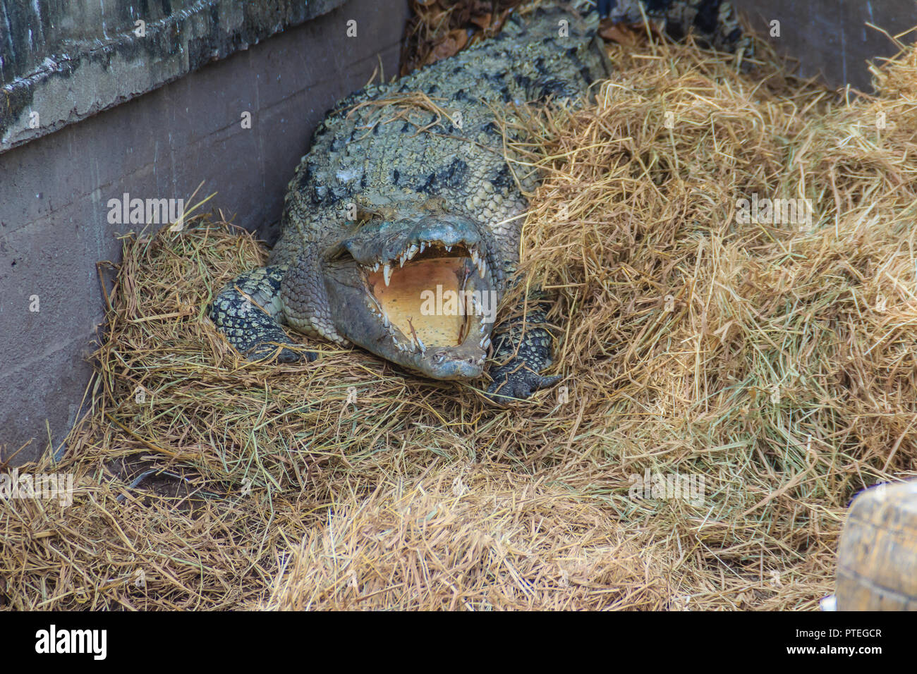 Wild crocodile laying eggs in the straw nest. Alligator is spawning eggs in the straw nest. Stock Photo