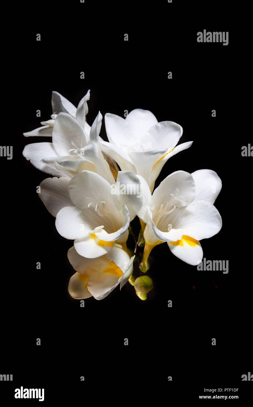 Garden flowers on black background stock photos garden flowers on white and yellow freesia flowers isolated on black background stock image mightylinksfo