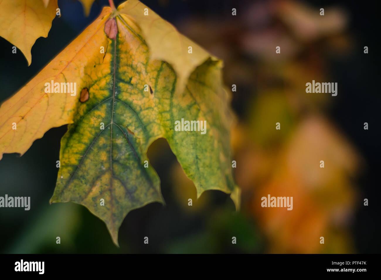 Laubfärbung einzelnes Blatt - Stock Image