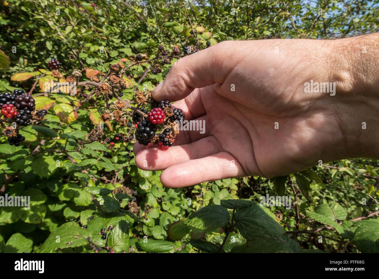 Picking blackberries growing wild in a hedge An edible fruit  in the genus Rubus in the family Rosaceae, Idaeobatus. - Stock Image