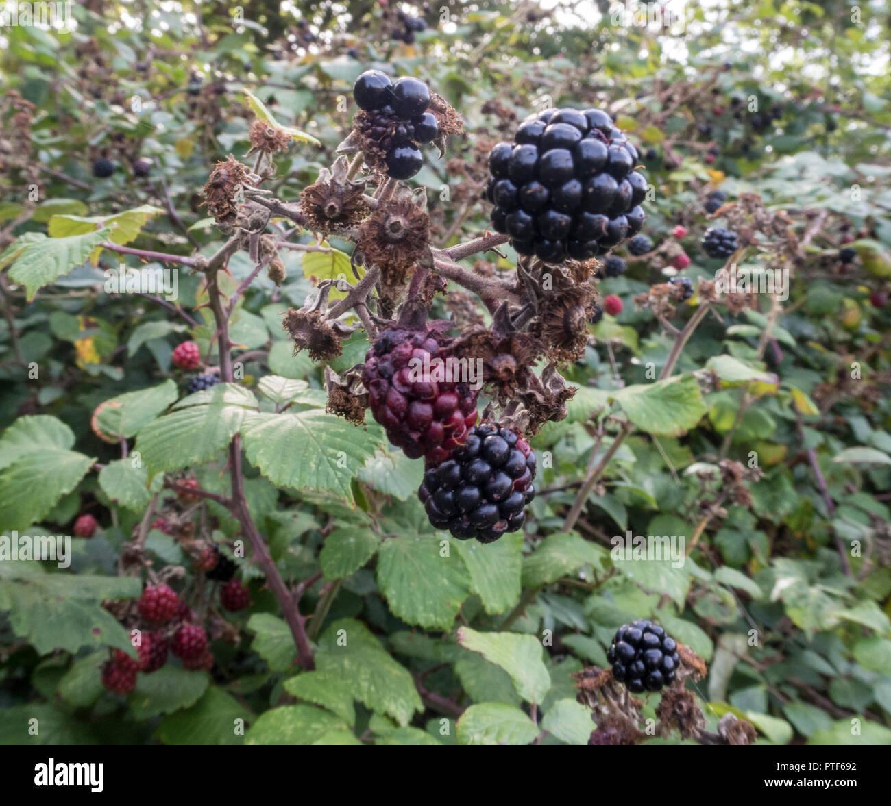 Blackberries ripening in a hedge An edible fruit  in the genus Rubus in the family Rosaceae, Idaeobatus. - Stock Image