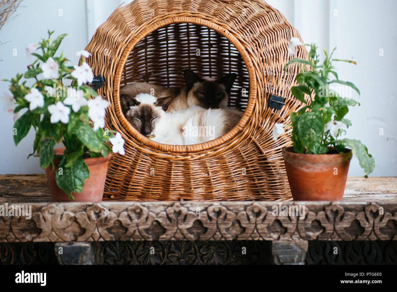 Siamese twin cats in wicker basket Stock Photo