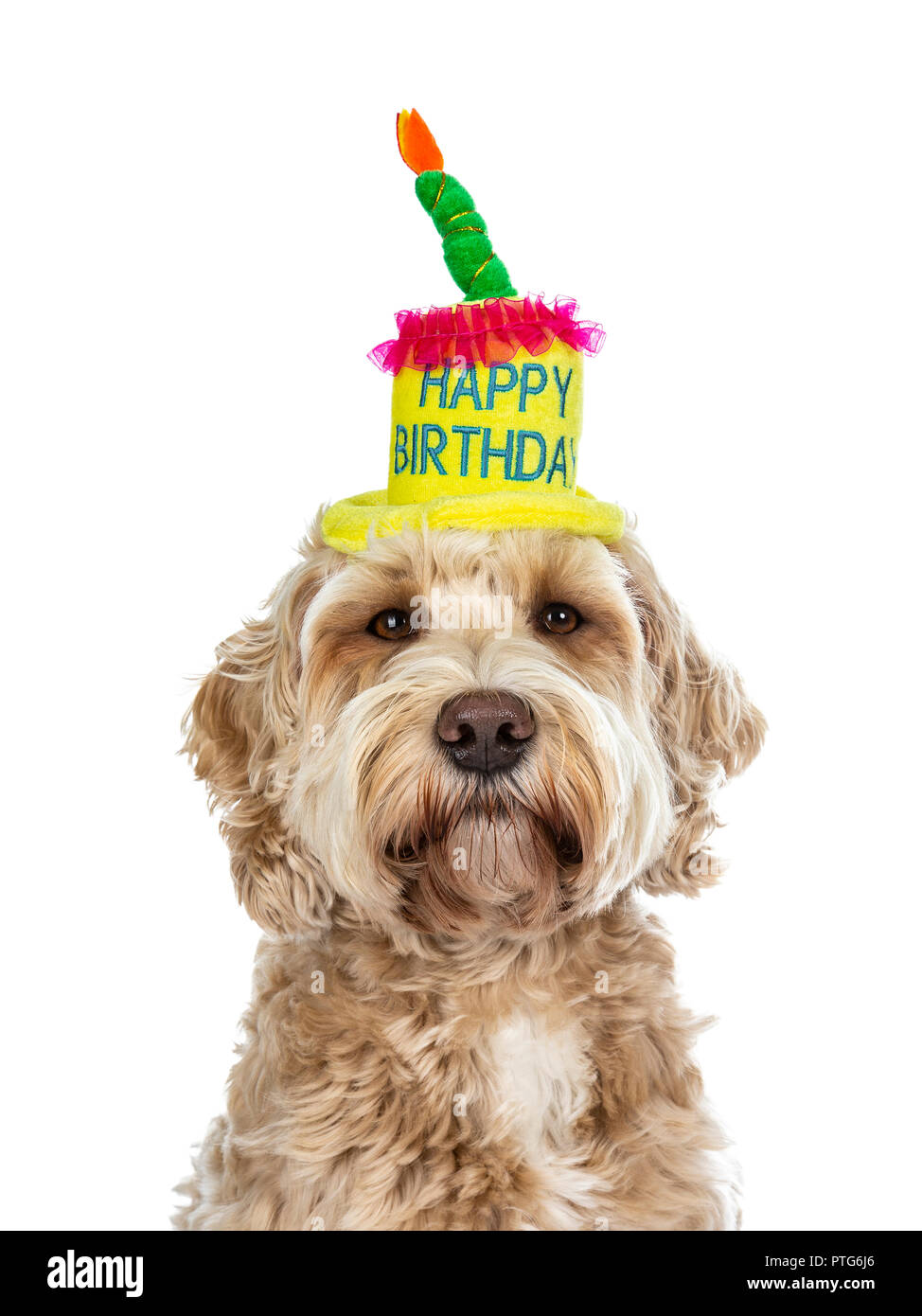 Head Shot Of Pretty Golden Adult Labradoodle Dog Wearing A Happy Birthday Cake Hat Looking Straight In Lense Isolated On White Background