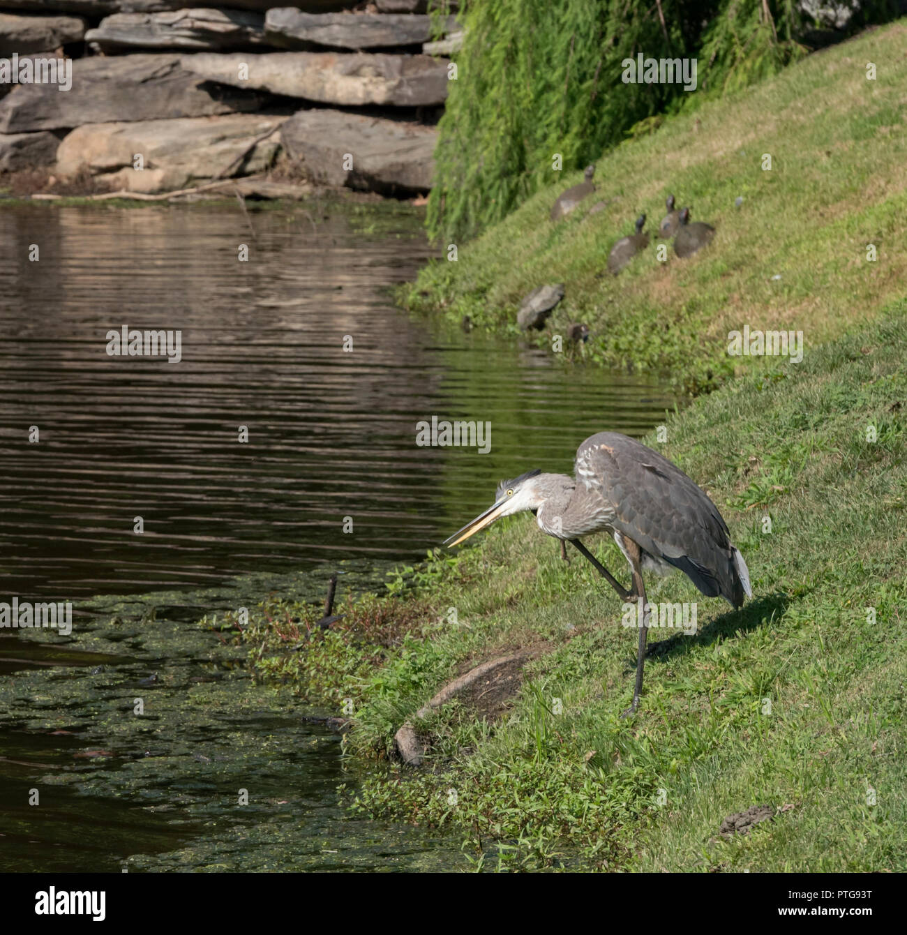 Loons And Turtles And Cranes Oh My >> Pond Turtles Stock Photos Pond Turtles Stock Images Alamy