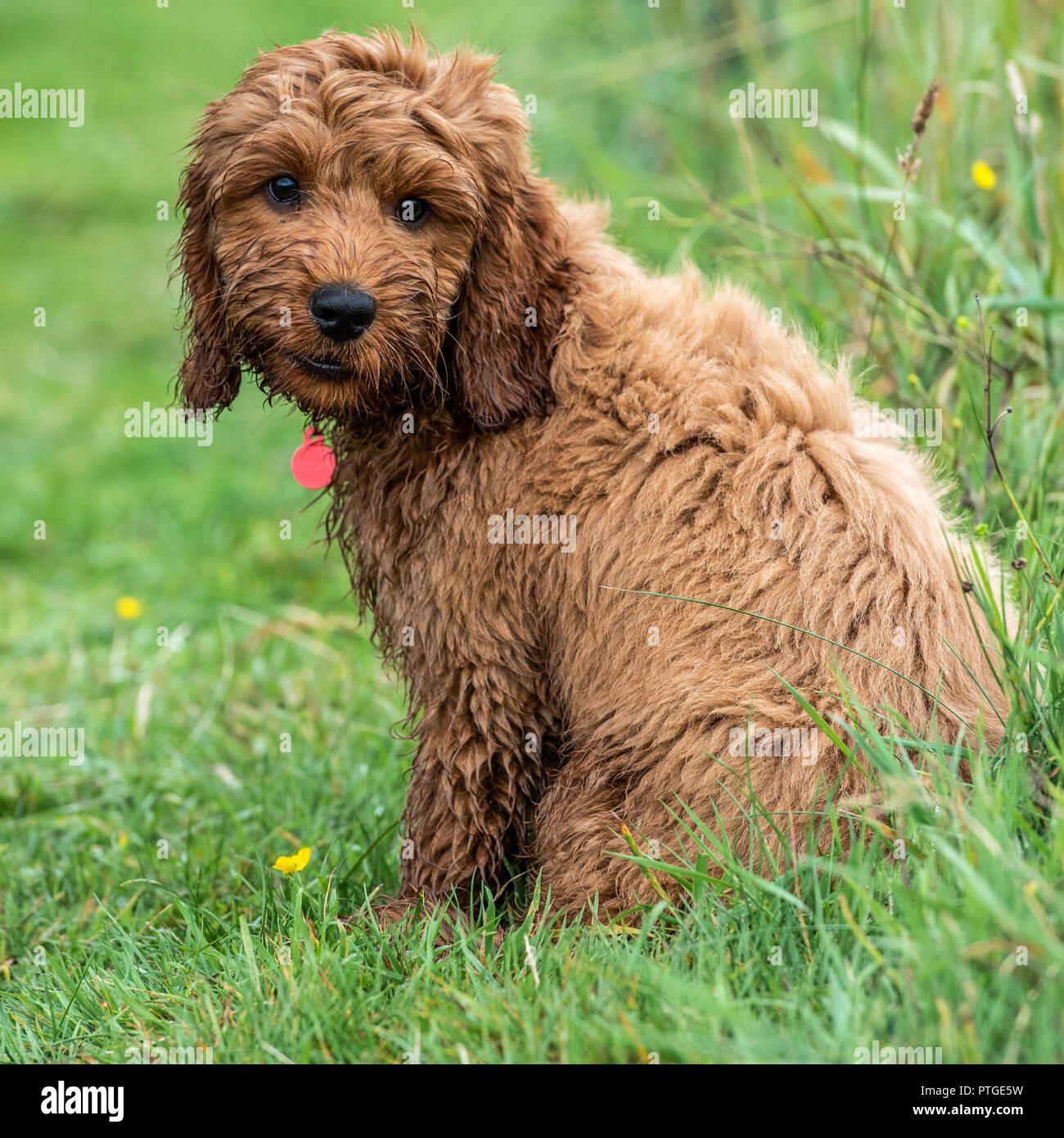 A young cockapoo puppy sitting in garden on a wet day Stock Photo